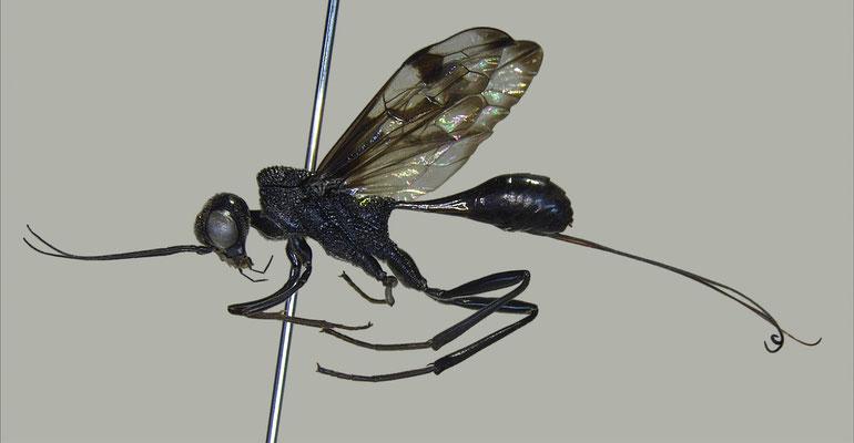 Pristaulacus comptipennis Enderlein, 1912 マダラセダカヤセバチ [det. Masato ITO]