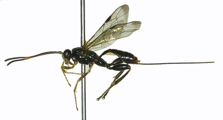 Yezoceryx isshikii (Uchida, 1929) イッシキケンヒメバチ ♀ [Det. Masato ITO]