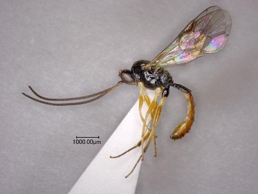 Stilbops kunashiricus Kasparyan, 1999  アジアチビマルヒメバチ ♂ [det. Kyohei WATANABE]