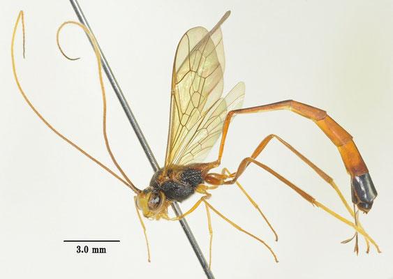 Agrypon longipropodeum (Uchida, 1958) [det. Kyohei WATANABE]