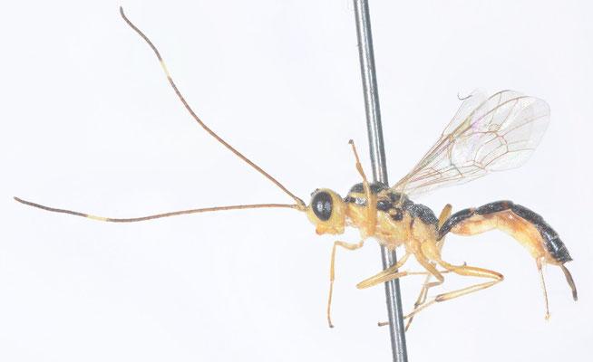 Oedemopsis scabriculus (Gravenhorst, 1829) スジマルヒメバチ [det. Kyohei WATANABE]
