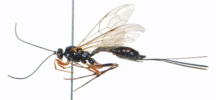 Coleocentrus chipsanii (Matsumura, 1911) ♀ [Det. Masato ITO]