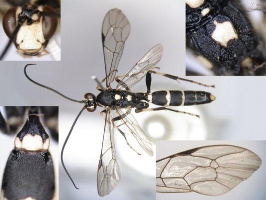 Achaius oratorius albizonellus (Matsumura, 1912) シロスジヒメバチ ♂ [Det. Kyohei WATANABE]