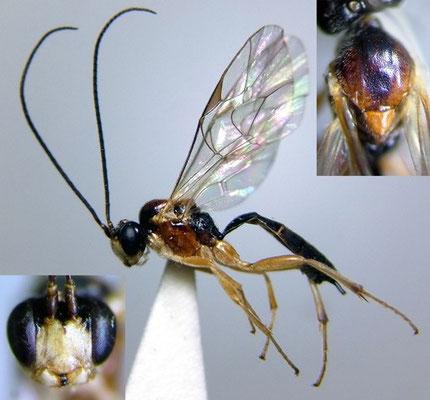 Astiphromma watanabei (Uchida, 1929) ワタナベフタオヒメバチ ♂ [det. Kyohei WATANABE]