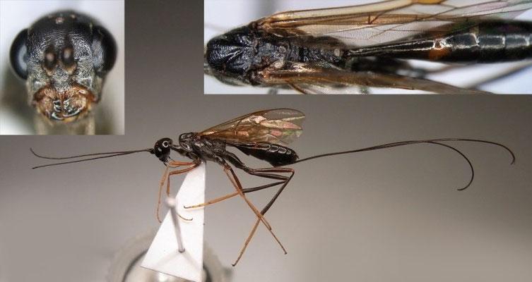 Pristaulacus japonicus Turrisi & Watanabe, 2011 [holotype]