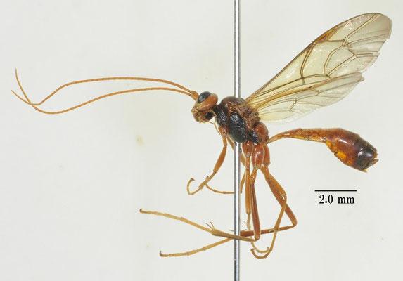 Metopheltes petiolaris Uchida, 1932 スジブトマルヒメバチ [det. So SHIMIZU]