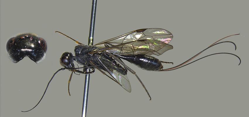 Pristaulacus insularis Konishi, 1990 クロシオセダカヤセバチ [det. Masato ITO]
