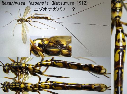 Megarhyssa jezoensis (Matsumura, 1912) エゾオナガバチ [det. Kyohei WATANABE]