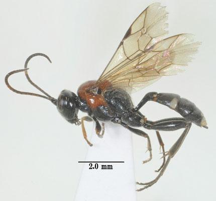 Neotypus nobilitator iwatensis Uchida, 1926 ツバメシジミセアカヒメバチ [det. So SHIMIZU]