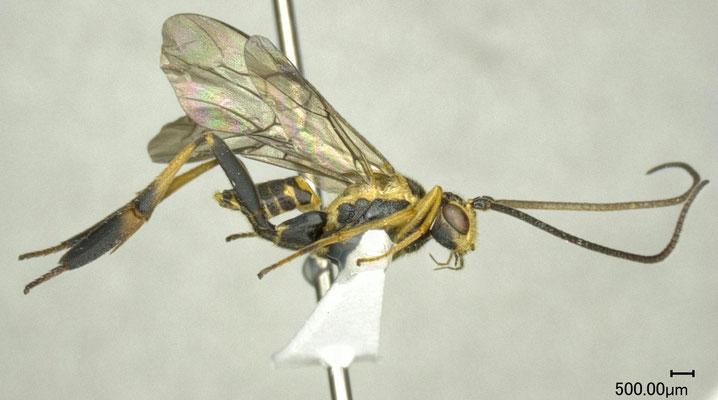 Hartemita muirii (Fullaway, 1919) ウチハコマユバチ ♂ [det. Shunpei FUJIE]