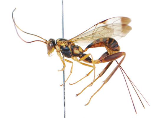 Spilopteron tosaensis (Uchida, 1934) トサケンヒメバチ ♀ [Det. Masato ITO]