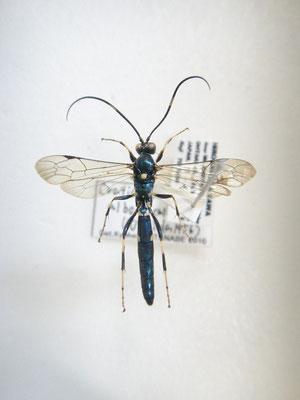 Ctenichneumon albomaculatus (Uchida, 1956) ルリツヤヒメバチ [det. Kyohei WATANABE]
