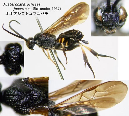Austerocardiochiles japonicus (Watanabe, 1937) オオアシブトコマユバチ ♀ [det. Kyohei WATANABE]