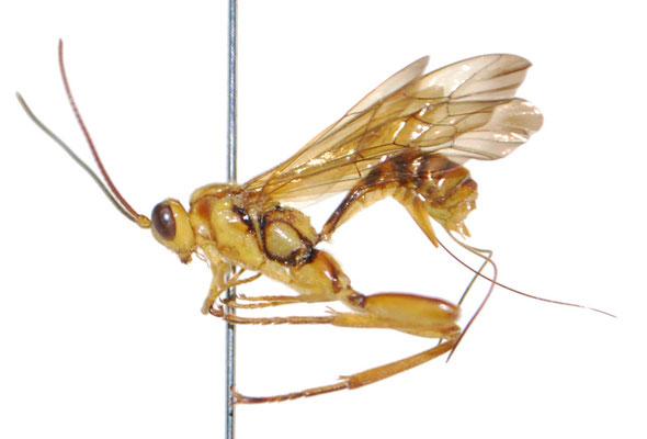 Ishigakia exetasea Uchida, 1928 イシガキケンヒメバチ ♀ [Det. Masato ITO]