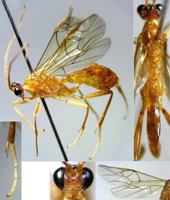 Homolobus (Chartolobus) infumator (Lyle, 1914) ニセアメイロコンボウコマユバチ [det. Kyohei WATANABE]