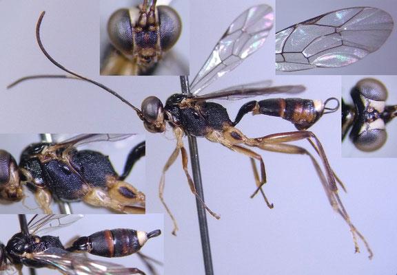 Baltazaria albomaculata Momoi, 1970 ♀ [det. Kyohei WATANABE]