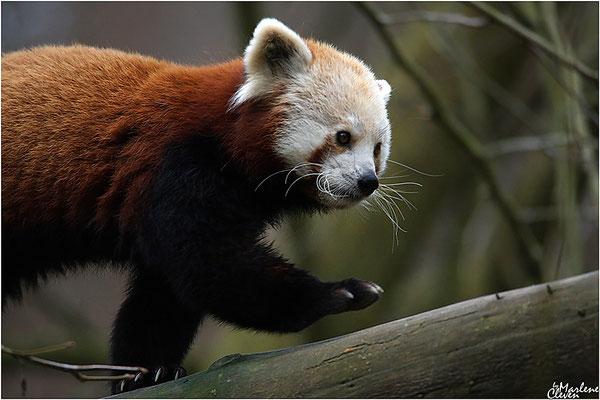 Westlicher Kleiner Panda - Zoo Neuwied - Jan. 2018
