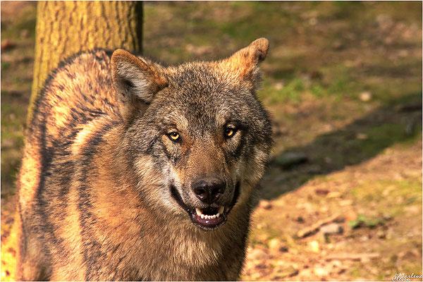 Eurasischer Wolf - Zoo Wuppertal - Apr. 2017