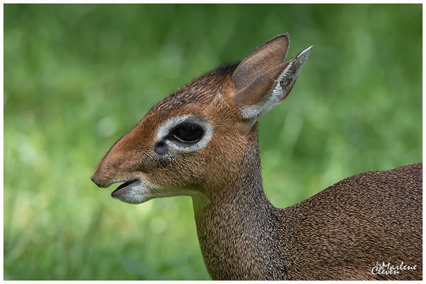Kirk Zwerg- Rüssel Dikdik - Zoo Duisburg - Jun. 2018