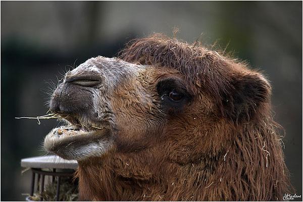 Kamel - Zoo Kerkrade - Mrz. 2018