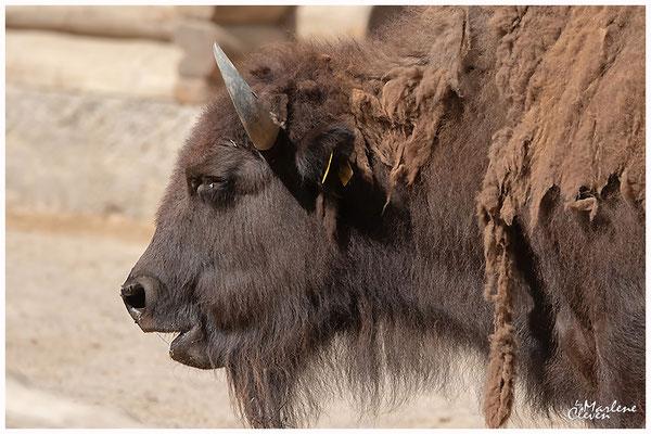 Amerikanisches Bison - Zoo Köln - Aug. 2018