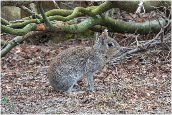 Kleiner Mara - Wuppertal Zoo - Apr. 2019