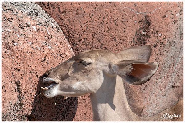 großer Kudu - Gaia Zoo NL - Sep. 2018