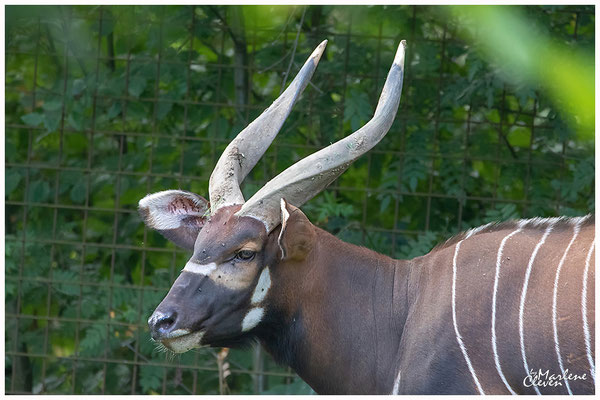 Bongo - Gaia Zoo NL - Sep. 2018