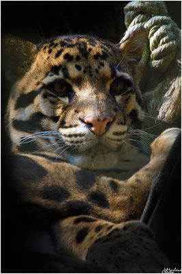 Indochina-Nebelparder - Zoo Wuppertal - Apr. 2017