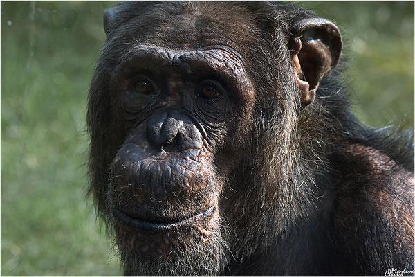 Schimpanse - Zoo Wuppertal Zoo - Apr. 2017