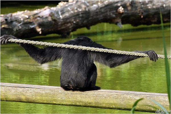 Siamang / schwarzer Gibbon - Zoo Dortmund - Sep. 2016