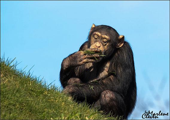 Schimpanse - Zoo Gelsenkirchen - Mrz. 2016