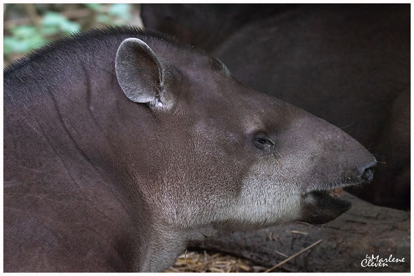 Flachland- südafrikanischer Tapir - Zoo Duisburg - Jun. 2018