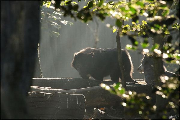 Westlicher Timberwolf - Zoo Gelsenkirchen - Okt. 2016