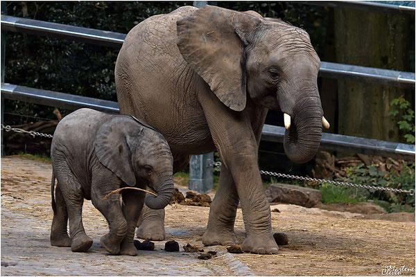 Südafrikanischer Steppenelefant - Zoo Wuppertal - Aug. 2016