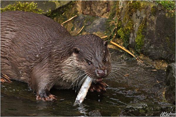 Eurasischer Otter - Wildpark Reuschenberg - Mrz. 2017