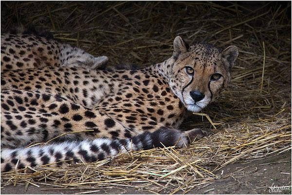Südafrikanischer Gepard - Zoo Kerkrade - Mrz. 2018