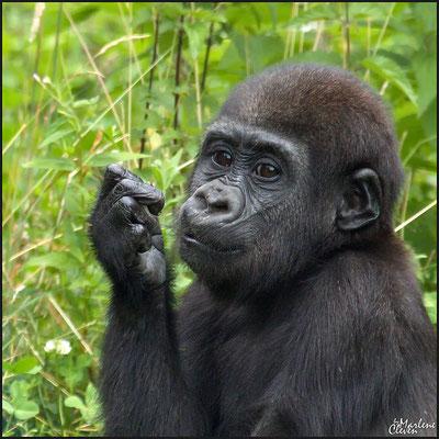 Gorilla - Zoo Krefeld - Jul. 2016