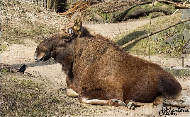 Eurasischer Elch - Zoo Gelsenkirchen - Mrz. 2016