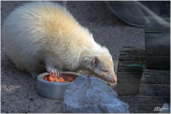 weißer Skunk - Solingen Tierpark - Jun. 2019