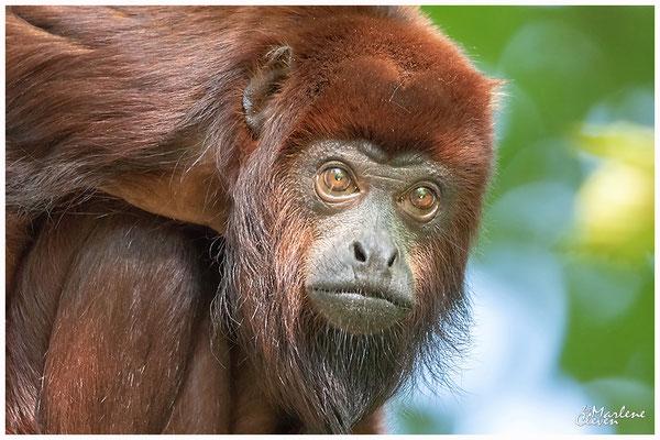 Venezolanischer Roter Brüllaffe - Zoo Gaia NL - Sep. 2018