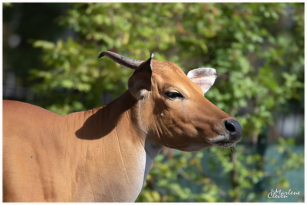 Java Banteng ´- Zoo Köln - Aug. 2018