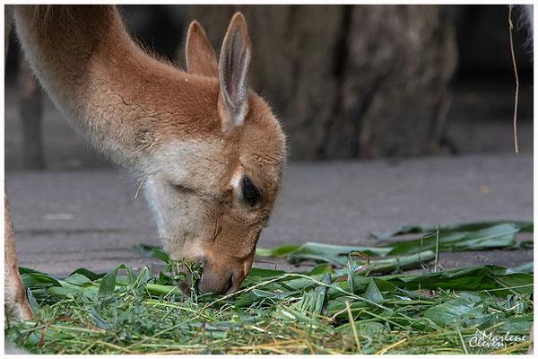 Vikunja - Zoo Duisburg - Jun. 2018