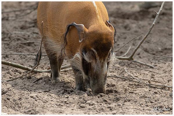 Pinselohrschwein - Rotes Flussschwein - Zoo Duisburg - Jun. 2018