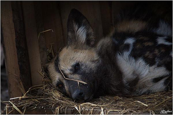 Afrikanischer Wildhund Hyänenhund - Zoo Kerkrade - Mrz. 2018