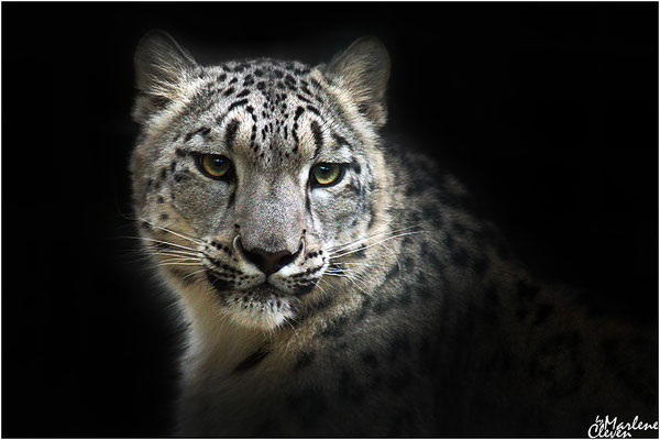 Südafrikanischer Gepard - Zoo Krefeld - Jul. 2016