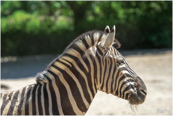 Damara Steppenzebra - Duisburg Zoo - Mai 2019