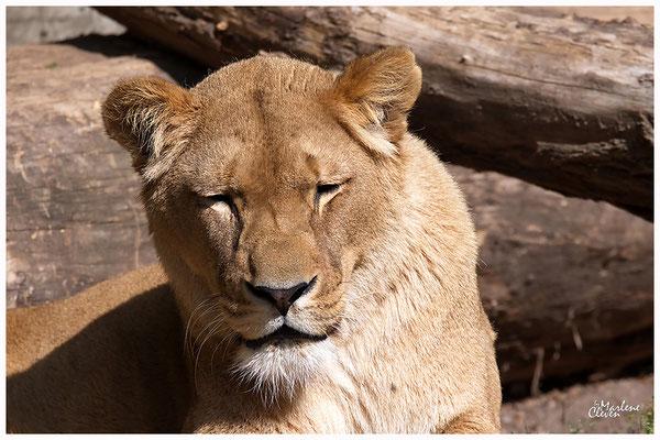 Berberlöwe - Atlaslöwe - Zoo Heidelberg - Mai 2018
