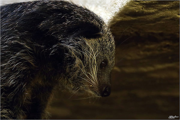 Binturong - Zoo Heidelberger -  Sep. 2016