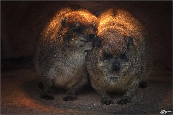 Klippschliefer - Zoo Kerkrade - Mrz. 2018
